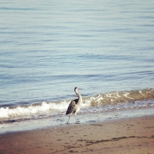 Great Blue Heron, Alki Beach