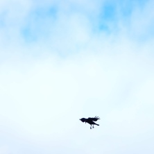 Landing Gear, American Crow, 2019